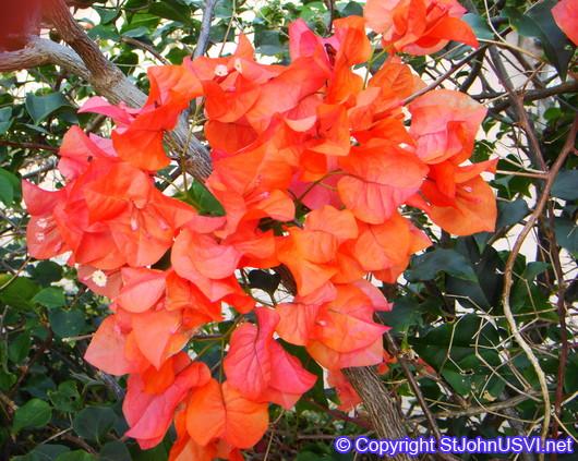 Bougainvillea (bugambilia)