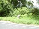 Pregnant Donkey
