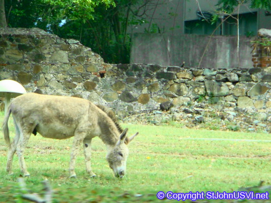 Donkey at a historic sugar mill ruin