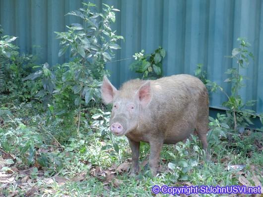 Friendly pig on Centerline Rd