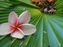 Plumeria (Frangipani) on fan palm