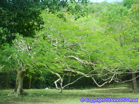 Flamboyant Tree @ Caneel Bay Resort