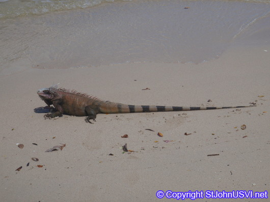 Iguana on the beach at Caneel Bay